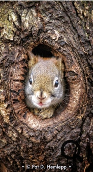 A squirrel looks through a knothole in a tree in Sharon Woods Metro Park, Westerville, Ohio.